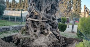 شجرة عمرها 1000 عام 310x165 - نقل شجرة عمرها 1000 عام في بالك اسير التركية
