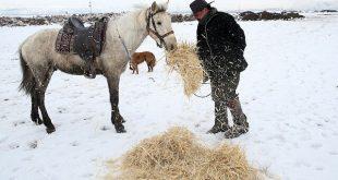"""علي في ولاية قيصري 310x165 - خيول """"الخال علي"""" في قيصري لوحة فريدة في أحضان الطبيعة والثلوج"""