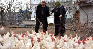 تركيا يكسبان 800 ليرة في كيركالي من البيض 310x165 - شاهد زوجان مسنان يكسبان 800 ليرة في اليوم من البيض في كيركالي