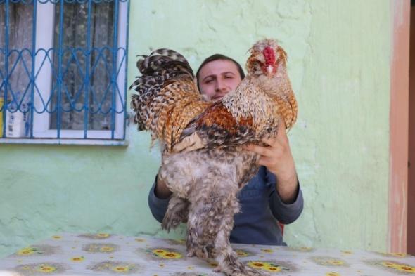3318557 - بالصور : مواطن تركي يربي دجاج براهما العملاق .. سعر الواحدة 3 آلاف ليرة